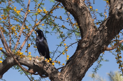 Black bird in tree with orange blossoms