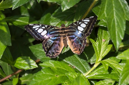 Multi-colored butterfly with blue and purple