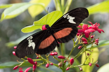 Butterfly with coral, black, and white
