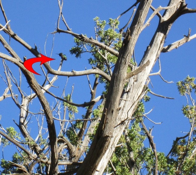 Hummingbird in a tree with an arrow pointing to it