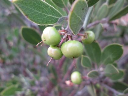 Manzanita Berries