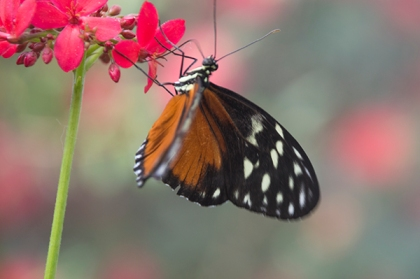 Black, orange and white butterfly and red flower