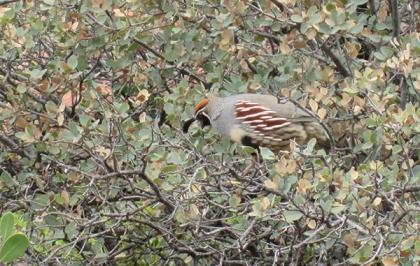 Quail in a bush looking down