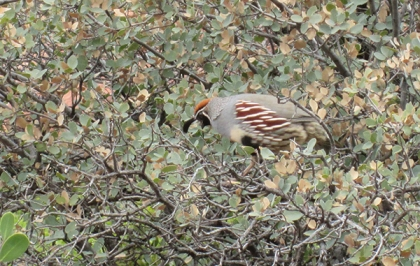 Quail in a bush looking down
