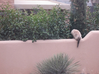 Siamese cat on a garden wall