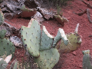 Prickly Pear Cactus with bites out of it