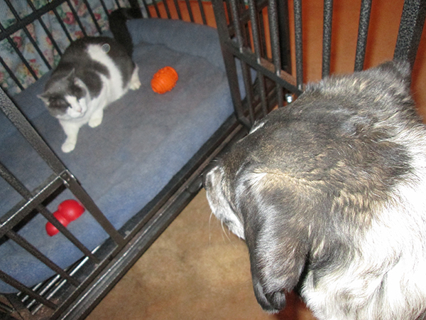 Bongo looking at Gizmo in the kennel
