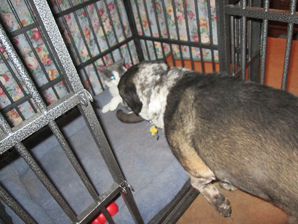 Bongo going into his kennel after Gizmo