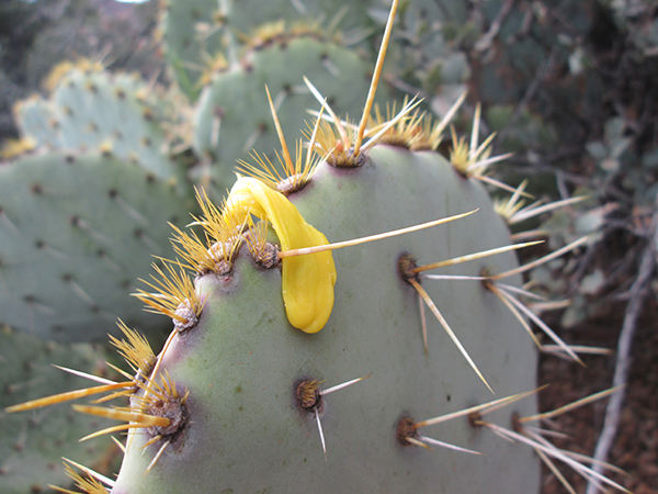 Gum on prickly pear cactus