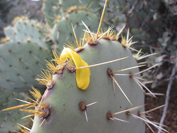Gum on prickly pear cactus