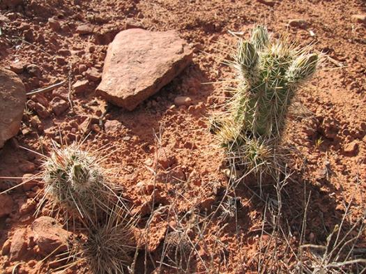 Hedgehog cacti getting ready to bloom