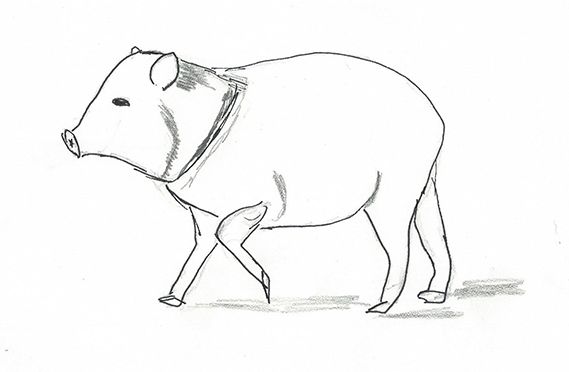 Drawing of a javelina