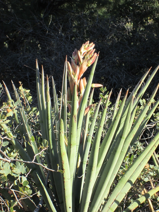 Yucca plant beginning to bloom