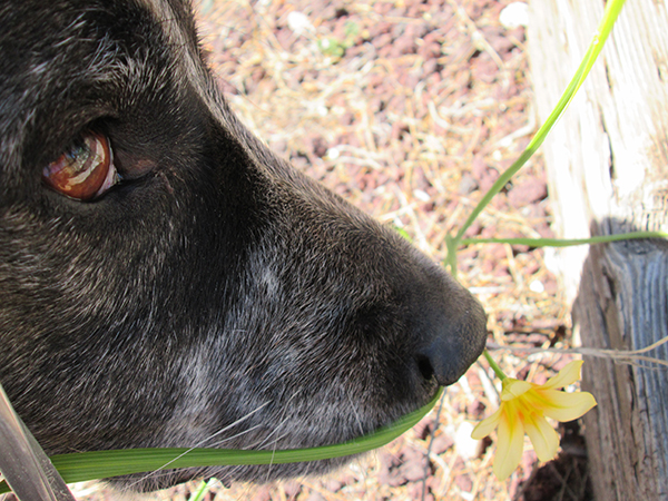 Bongo's nose sniffing a flower