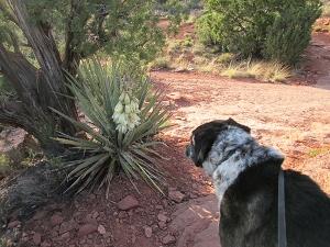 Bongo looking at a yucca plant