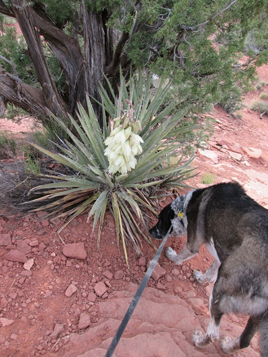 Bongo sniffing below a yucca plant