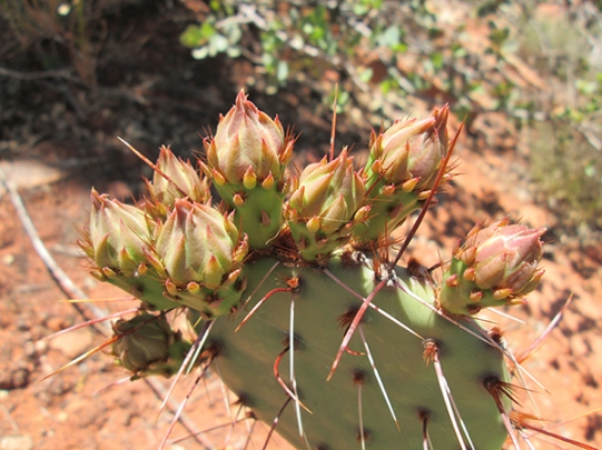 Prickly pear cactus with buds