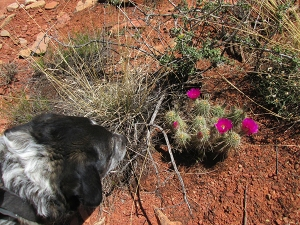 Bongo and some hedgehog cacti in bloom