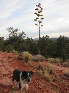 Bongo and a century plant