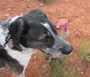 Bongo in front of hedgehog cactus blossoms