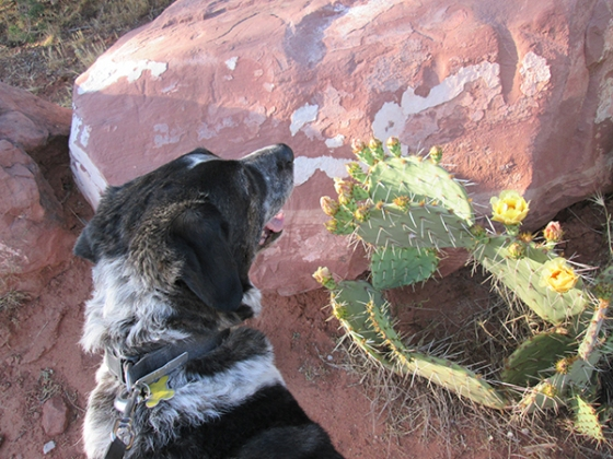Bongo in front of blooming prickly pear