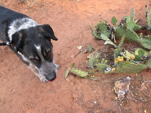 Bongo next to a healing prickly pear cactus
