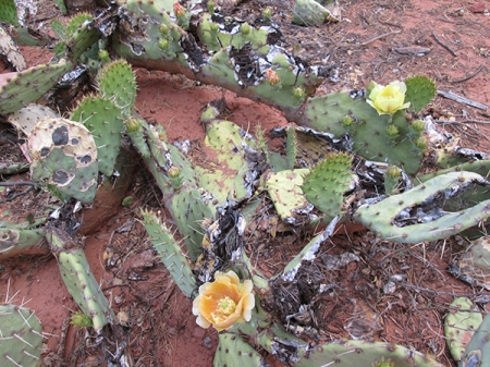 Damaged prickly pear cactus with blossoms