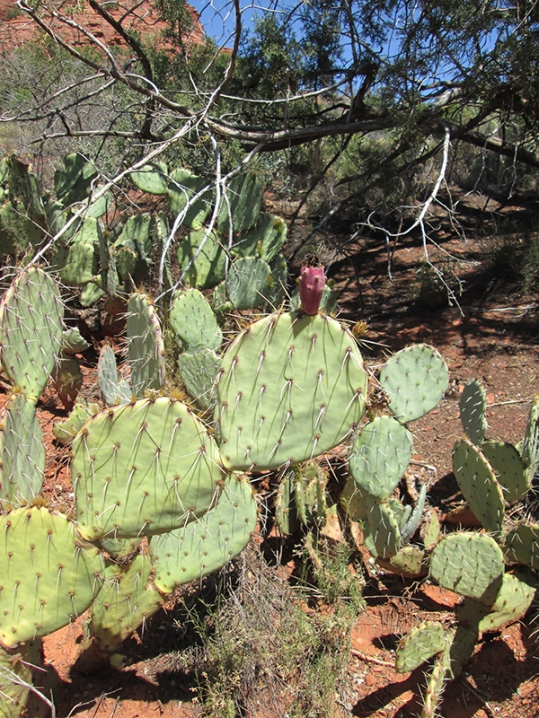 Prickly pear cactus with one fruit