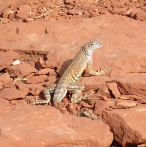 Lizard without a tail