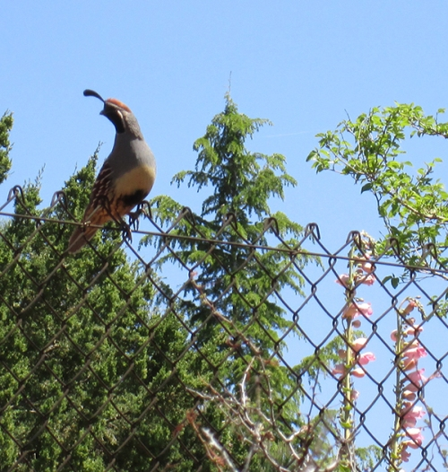 Quail on fence