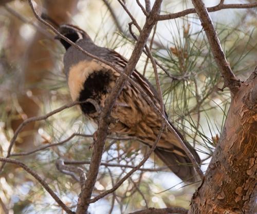 Quail in a tree