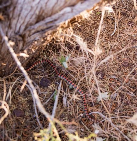 Sand snake near a tree