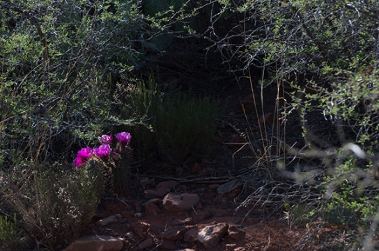 Hedgehog cactus blossoms hidden in the woods