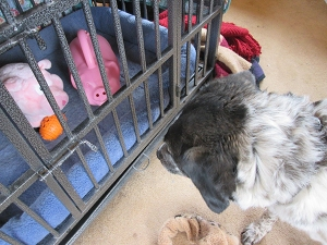Bongo looking at toy pigs in his dog jail