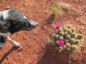 Bongo and a hedgehog cactus in bloom