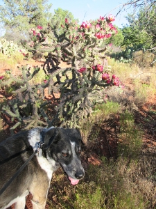 Bongo in front of a blooming cholla cactus