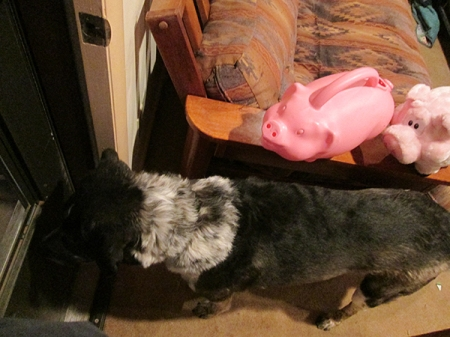 Bongo leading the pigs out the door