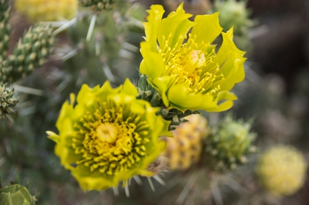Green cholla cactus flowers