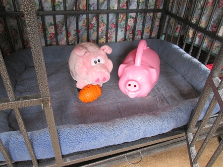 Pigs in kennel with open door