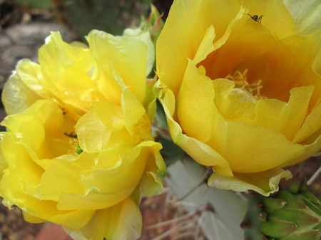 Prickly pear blossoms with an ant inside