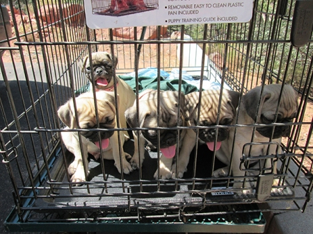 Pug puppies in a kennel