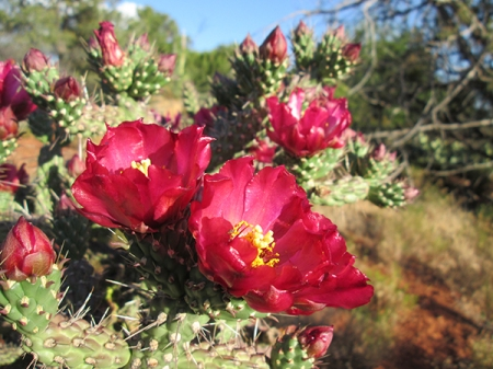 Red cholla cactus flowers