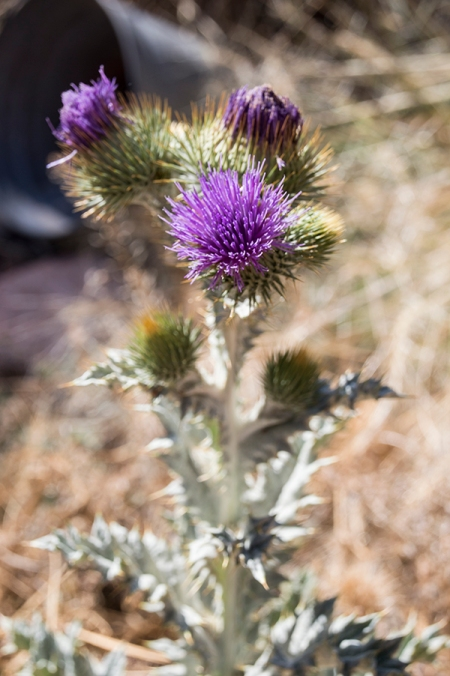 Thistle with purple blossoms and a bucket in the background