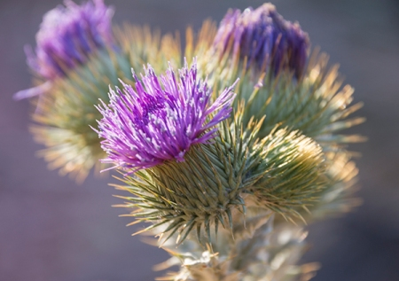 Top of thistle with purple blossoms