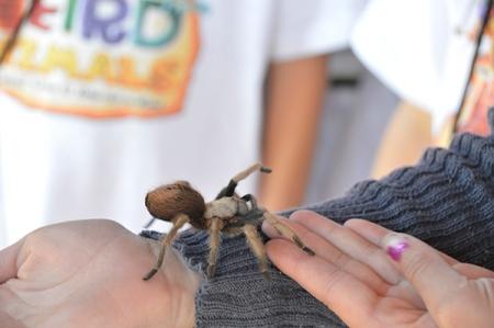 Tarantula crawling up an arm