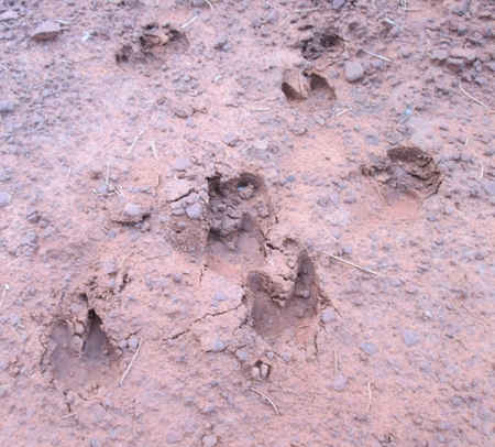 Javelina tracks in the mud