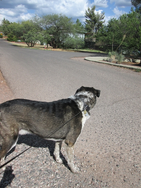 Bongo looking down the road