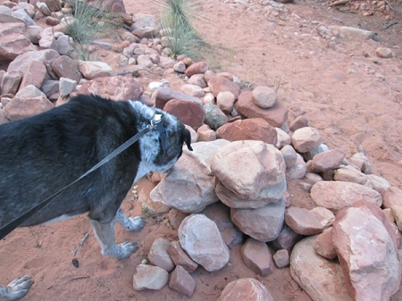 Bongo sniffing the rocks