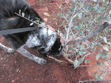 Bongo sniffing the base of a bush