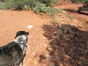 Bongo looking at the trail